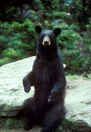 Black bears return to Missouri indicates healthy forests