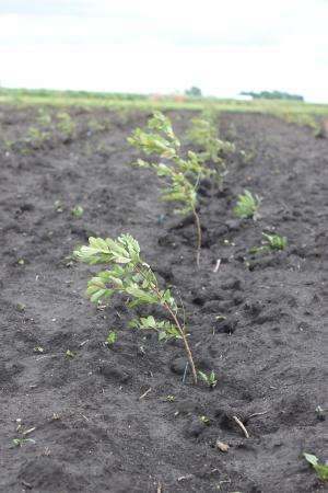 Black locust showing promise for biomass potential