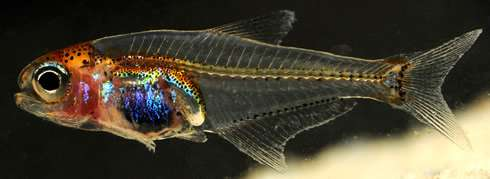Blue-bellied fish is a surprise catch