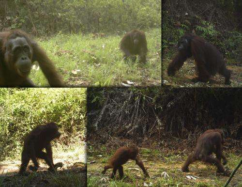 Borneo's orangutans are coming down from the trees