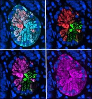 Brain-building gene plays key role in gut repair