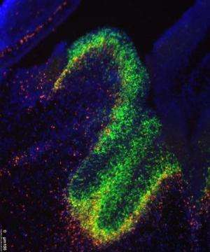Brain development is guided by 'junk' DNA that isn't really junk