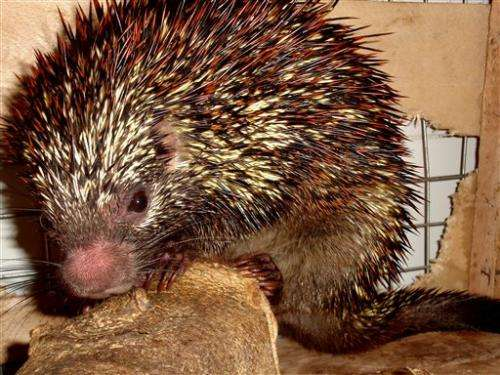 Brazilian team finds new porcupine species