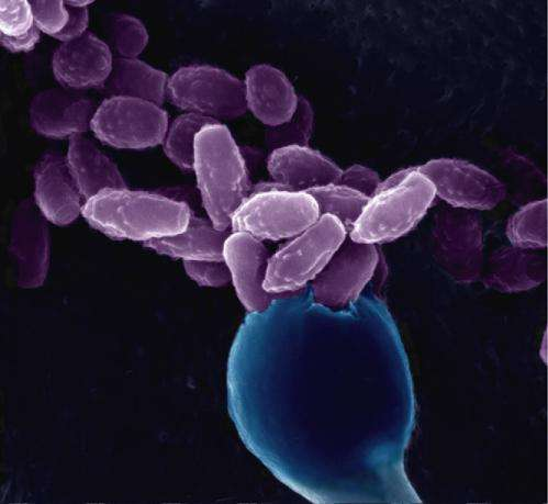 Fungal sex can generate new drug resistant, virulent strains