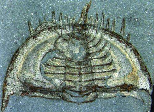 New evidence suggests earliest trilobites were able to partially roll up their bodies