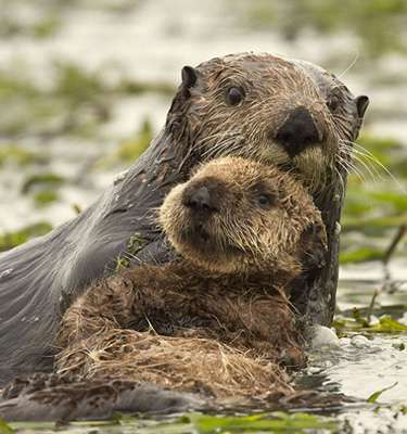 California's sea otter numbers continue slow climb