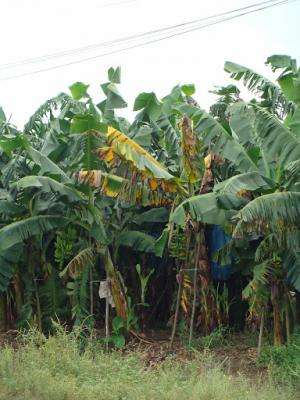 Call for action in Nature to save the banana