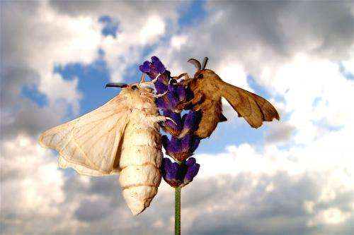 Captive breeding for thousands of years has impaired olfactory functions in silkmoths