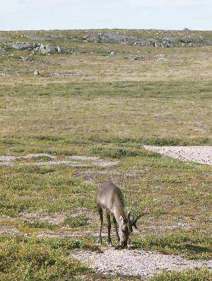 Caribou the missing piece of arctic warming puzzle