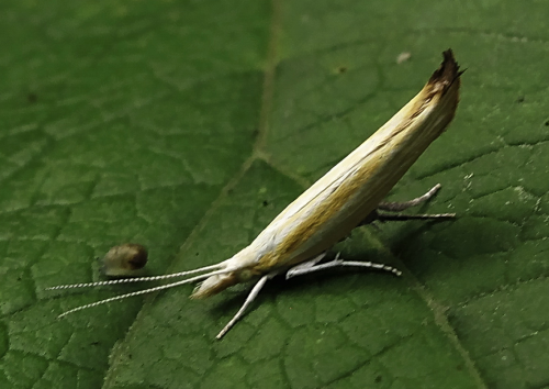 Catch me if you can: Two new species of moth from the Russian Far East