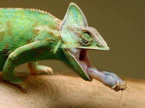 Chameleons took to the waves to migrate from Africa to Madagascar about 65 million years ago, a new study shows