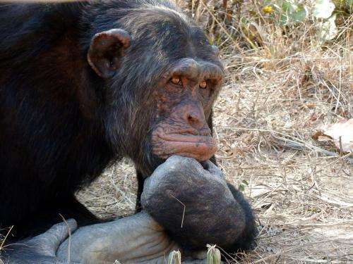 Chimpanzees are rational, not conformists