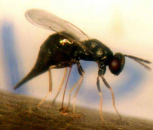 Chinese wasps are taking on the emerald ash borer