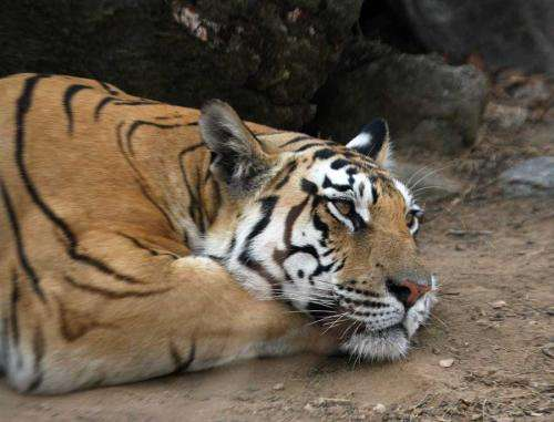 Clemson University researchers: Protect corridors to save tigers, leopards