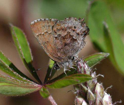 Climate change affects the flight period of butterflies in Massachusetts