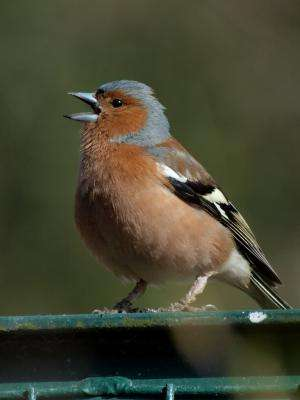Colonizing songbirds lost sense of syntax