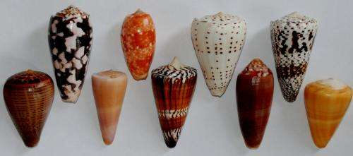 Cone snails are for life and not just at Christmas