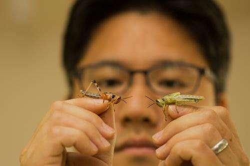 Controlling destructive locusts by manipulating their genetics