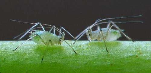Crop-infecting virus uses aphids as carrier