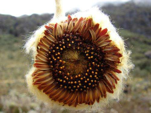 Crown of Venezuelan paramos: A new species from the daisy family, Coespeletia palustris