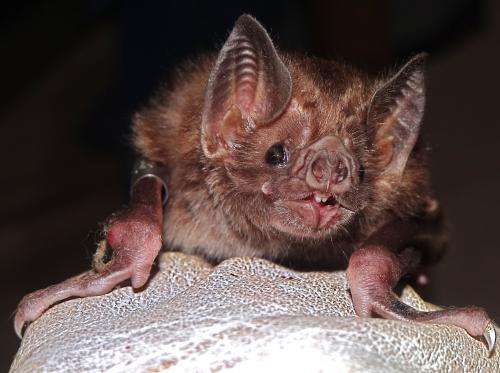 Culling vampire bats to stem rabies in Latin America can backfire