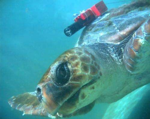 Turtles watch for, snack on gelatinous prey while swimming
