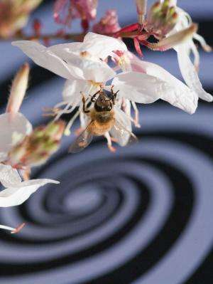 Study shows bees use visual rate of expansion of ground for perfect landings