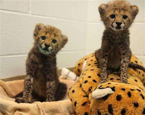 Dallas Zoo welcomes 2 cheetah cubs ... and puppy