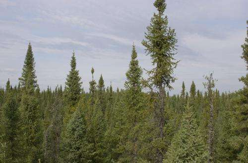 Death of a spruce tree