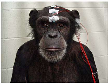 Detection of affective facial expression in a chimpanzee: An event-related potential study