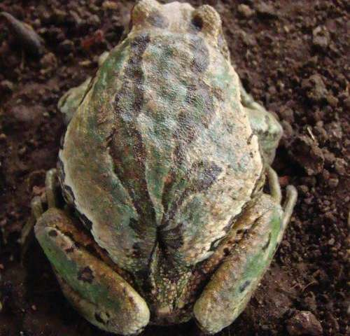 Differences between frog species reveal how developmental patterns are related to species diversity