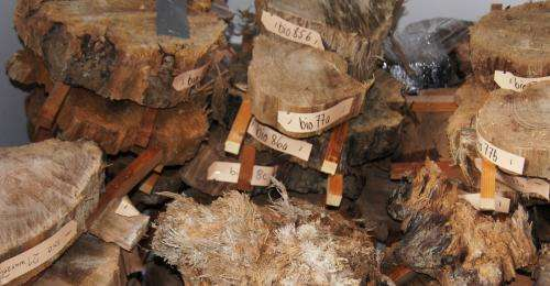 Discovery of subfossil wood opens new research avenues