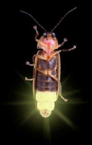 Discovery of the missing link in evolution of bioluminescence