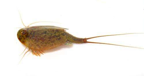 Diversification in ancient tadpole shrimps challenges the term 'living fossil'