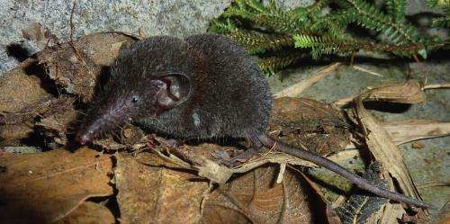 Don't judge by the looks: Molecular analysis reveals a new species of white toothed shrew