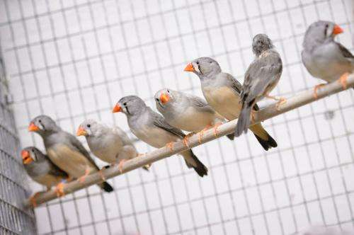 Do songbirds hold key to stuttering?