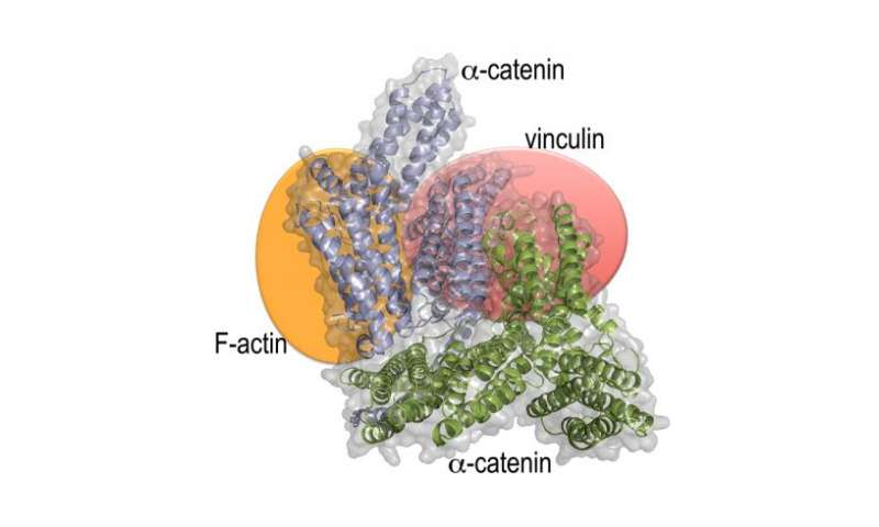 New study defines the long-sought structure of a protein necessary for cell-cell interaction