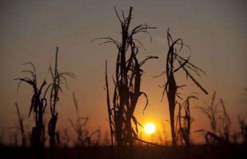 Drought withered corn stalks at sunset on a farm near Oakland City, Indiana on August 15, 2012
