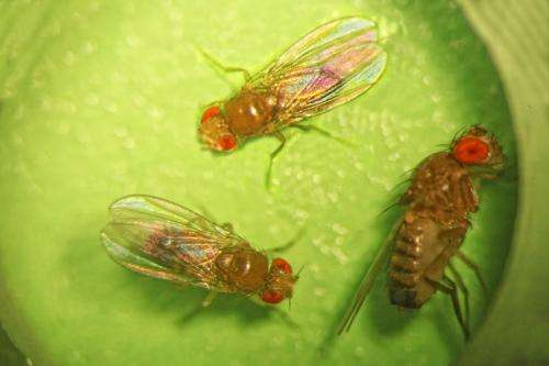 Drowsy Drosophila shed light on sleep and hunger