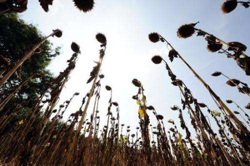 Dry sunflowers are seen on September 11, 2012 in Toulouse, southwestern France, during a drought leading to low groundwater leve