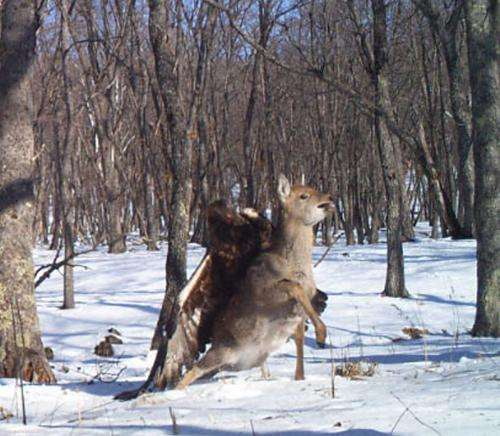 Eagle vs. deer