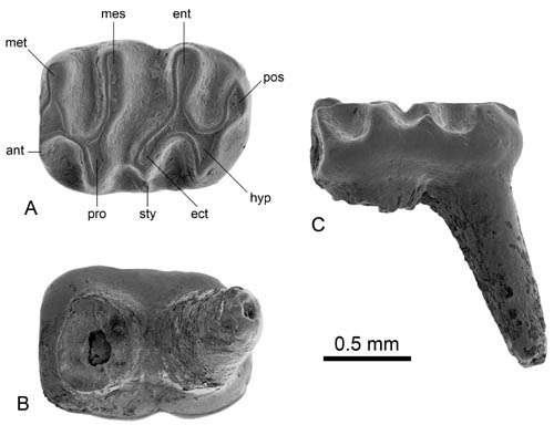 Earliest known microtoid cricetid found from the Junggar Basin of China