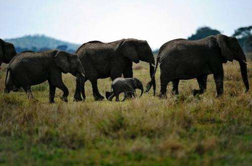 Elephants forage in Tanzania's Serengeti national reserve on October 25, 2010