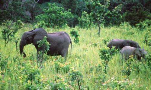 Elephants graze at Lope National Park in Gabon on November 28, 1999