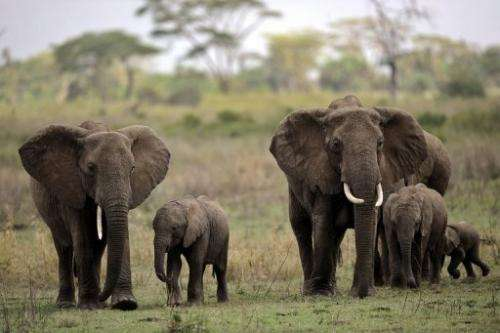 Elephants in the Serengeti National Reserve, Tanzania, October 25, 2010, where rangers constantly monitor poachers