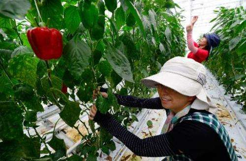 Employees of paprika maker Vegi Dream Kurihara prune paprika vines at a greenhouse in the village of Ohira, northern Miyagi pref