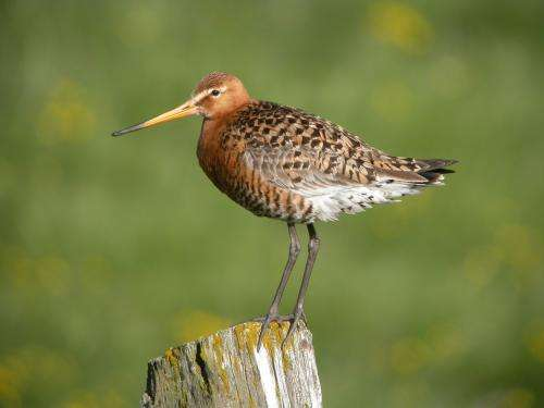 Environmental change impacts on migratory shorebirds differ for males and females