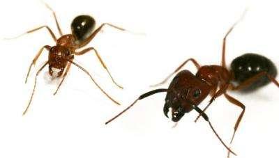 Epigenetics shapes fate of brain vs. brawn castes in carpenter ants