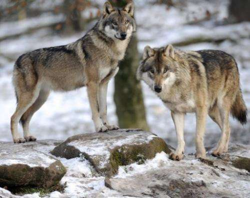 European grey wolves pictured at an animal park on December 12, 2012, in Rhodes, France