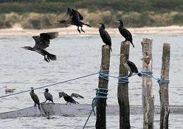 Europe-wide studies into cormorant-fishery conflicts published
